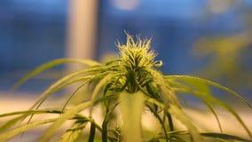 De medische cannabis van de onderzoekwetenschap, marihuanadetail, grote knop met stampers stock footage