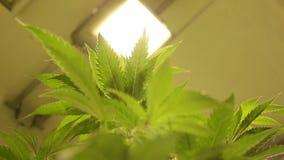 De medische cannabis van de onderzoekwetenschap voor geneeskrachtige doeleinden, het detailbladeren van de marihuanahennep, de gr stock footage