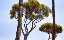 De mediterrane bomen van de steenpijnboom Stock Foto