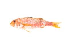 De mediterrane vissen van het mul. Ruw voedsel. Royalty-vrije Stock Afbeeldingen