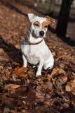 De meer terier zitting van Jack Russel op bladeren Stock Fotografie