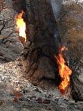 De meerbrand ~ San Groot Bernardino Mountains ~ draagt de Zomer ~ van 2015 ~ Tiger Face Stock Afbeeldingen