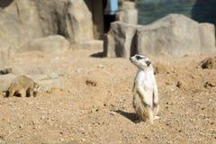 De Meerkatpatrouille inspecteert het gebied op zoek naar gevaar stock foto's