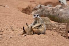 De Meerkatsfamilie, Moeder Meerkat voedt haar Baby Meerkats stock foto's