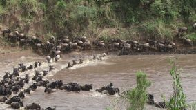 De meest wildebeest grote migratie van Kenia stock videobeelden