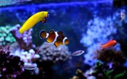 De meeste populaire vissen zijn meer en meer interessant om in hen in onze aquariums te hebben en te genieten van Royalty-vrije Stock Foto