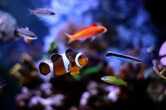 De meeste populaire vissen zijn meer en meer interessant om in hen in onze aquariums te hebben en te genieten van Stock Foto