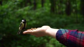 De meesvogel in het bos vloog op vrouwenhand om één of andere noten Langzame motie te eten stock video