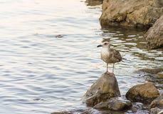 De meeuw die jonge vogel bruin met voeten met zwemvliezen nestelen zich bevindt zich op steen uit kijkend aan het van de het exem royalty-vrije stock foto's