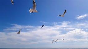 De meeuwen vliegen boven tegen de hemel in goed weer Grotere witte zeemeeuwen op de achtergrond van de hemel stock videobeelden