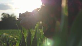 De meisjeslandbouwer met een tablet controleert het gewas, graangebied bij zonsondergang, langzame geanimeerde video Handen omhoo stock video