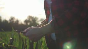 De meisjeslandbouwer met een tablet controleert het gewas, graangebied bij zonsondergang, langzame geanimeerde video Handen omhoo stock footage