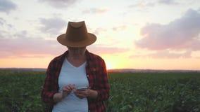 De meisjeslandbouwer is op het gebied bij zonsondergang Het controleert de groei van gewassen gebruikend een smartphone stock footage