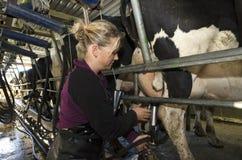 De melkboer melkt koeien in melkende faciliteit Stock Afbeeldingen