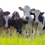 De melkkoeien van Holstein in een weiland Royalty-vrije Stock Foto