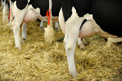 De Melkkoeuier van Holstein Stock Fotografie