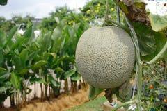 De Meloen van de Dauw van de honing stock afbeelding