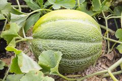 De meloen zingt op de meloen Stock Afbeelding