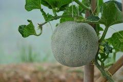 De meloenfruit van de close-up groen kantaloep op de wijnstok royalty-vrije stock fotografie