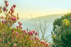 De mening in de lente van de hellingen met bloeiende magnolia op Bosphorus Bloeiende magnolia op de kusten van Bosphorus stock afbeelding
