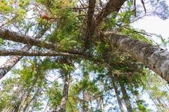 De mening omhoog van pijnboombomen leunde tegen elkaar in het bos stock foto's