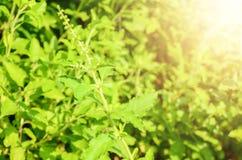 De mening van de close-upaard van basilicum groen blad in tuin bij de zomer onder zonlicht Natuurlijk groene installatieslandscha royalty-vrije stock foto's
