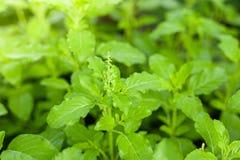 De mening van de close-upaard van basilicum groen blad in tuin bij de zomer onder zonlicht royalty-vrije stock afbeeldingen