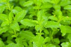 De mening van de close-upaard van basilicum groen blad in tuin bij de zomer onder zonlicht royalty-vrije stock foto