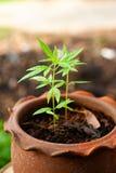De mening van de close-upaard van groen het blad medisch gebruik van de Marihuanainstallatie voor onderwijs met de zomer onder zo stock foto