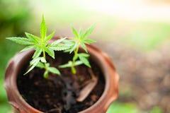 De mening van de close-upaard van groen het blad medisch gebruik van de Marihuanainstallatie voor onderwijs met de zomer onder zo stock afbeeldingen