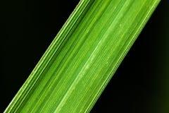 De mening van de close-upaard van groene bladtextuur op zwarte achtergrond Royalty-vrije Stock Afbeelding