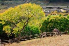 De mening van de dag van de scène van de Herfst met poneys Stock Afbeeldingen