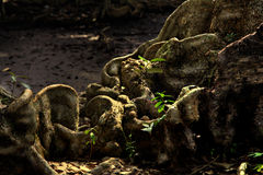 De mening van de dag van natuurlijke houten wortel Stock Foto's