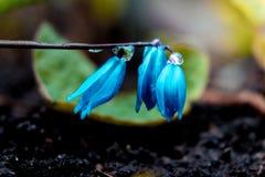 De mening van de magische bloeiende lente bloeit krokus het groeien in het wild Het blauwe magenta krokus groeien van aarde buite Royalty-vrije Stock Afbeelding