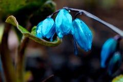 De mening van de magische bloeiende lente bloeit krokus het groeien in het wild Het blauwe magenta krokus groeien van aarde buite Royalty-vrije Stock Foto's