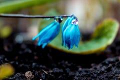 De mening van de magische bloeiende lente bloeit krokus het groeien in het wild Het blauwe magenta krokus groeien van aarde buite Royalty-vrije Stock Foto
