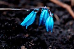 De mening van de magische bloeiende lente bloeit krokus het groeien in het wild Het blauwe magenta krokus groeien van aarde buite Royalty-vrije Stock Afbeeldingen
