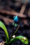 De mening van de magische bloeiende lente bloeit krokus het groeien in het wild Het blauwe magenta krokus groeien van aarde buite Stock Fotografie