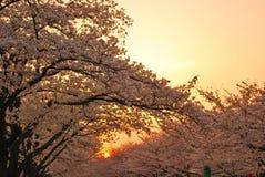 De mening van de zonsondergang van kersenbloesems royalty-vrije stock afbeelding