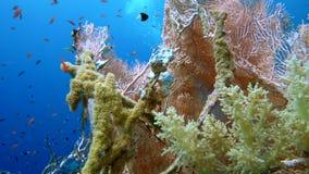 De mening van een duiker die een kleurrijke ertsader, Rode overzees, Egypte onderzoeken stock footage
