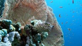 De mening van een duiker die een kleurrijke ertsader, Rode overzees, Egypte onderzoeken stock video
