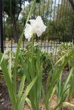 De mening van gemiddelde lengte van Gladiolen met witte bloemen royalty-vrije stock foto
