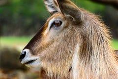 De mening van het ellipsiprymnusprofiel van Waterbuckkobus Close-up van gezicht Royalty-vrije Stock Foto's