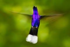 De mening van het gezicht Vliegende grote blauwe Kolibrie Violet Sabrewing met vage groene achtergrond Kolibrie in vlieg Vliegend stock foto