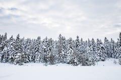 De mening van het de winterlandschap met pijnboombos Royalty-vrije Stock Afbeeldingen