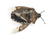 De mening van hoogte van doden stinkt omhoog Insect, geïsoleerde Pentatomoidea, Stock Foto
