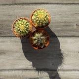 De mening van de lijstbovenkant over kleine cactus drie in pot, op grijze houten lijst, royalty-vrije stock afbeeldingen