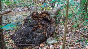 De mening van de wortelbal van gevallen boom in bos royalty-vrije stock afbeeldingen
