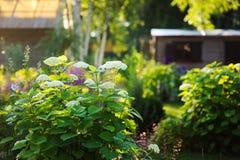 De mening van de de zomertuin in juni met de struik van hydrangea hortensiaannabelle het bloeien Stock Foto