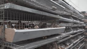 De meningen van het gevogeltelandbouwbedrijf Het kooienhoogtepunt van kwartels blijft in lijn één op bij fabrieksgebouw stock videobeelden